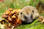 hedgehog-with-fungi