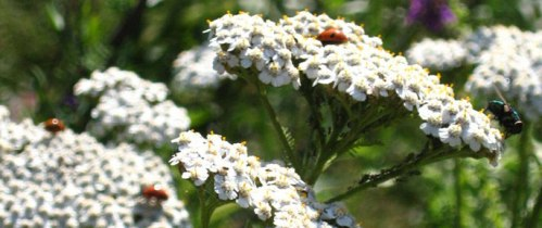 MAINWhite-Yarrow-©-Caroline-Perget--Mark-Hutchinson
