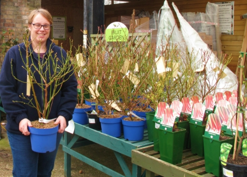 Lucy Simpson gets blueberry shrubs ready for RHS Chelsea Flower Show small