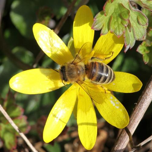 Honey bee by Ken Dolbear MBE small