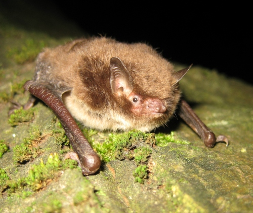 Daubenton's Bat - Upton Country Park - June 2010