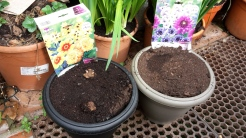 The pot on the right which looks empty is filled with bulbs and the pot on the left is just starting to sprout shoots.