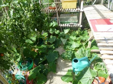Cucumer plant 1